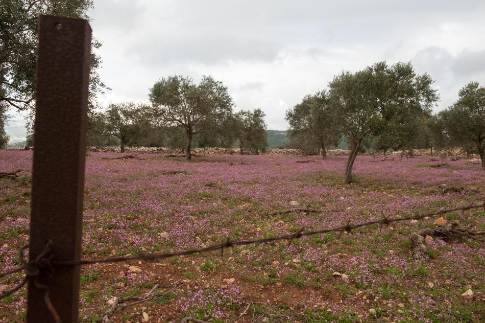 Roman Olive Groves, Orjan, Jordan